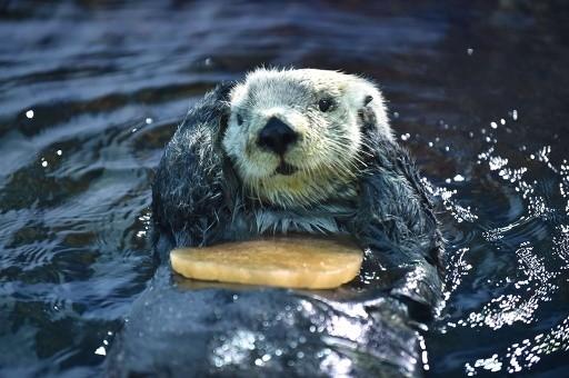 日本水族館的海獺收到情人節禮物,表情超萌。(圖擷取自So-net news)