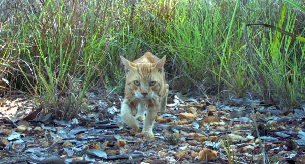 外來種野貓嚴重威脅澳洲當地物種生存,當局開發新毒藥大規模撲殺野貓,盼能恢復生態平衡。(法新社)