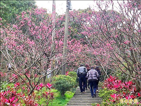 有「台北後陽明山」之稱的紅淡山上櫻花盛開,圖中的山櫻花吸引不少愛花人士一親芳澤。(記者俞肇福攝)