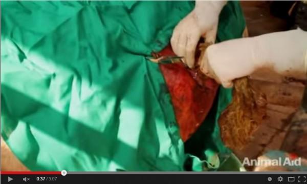 印度一隻「流浪牛」,肚內竟累積20公斤的垃圾。(圖取自YouTube)