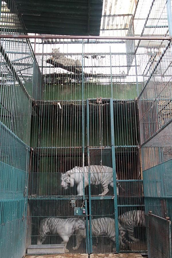 墨西哥1家動物園的動物生活條件差,部分鐵籠大玩疊疊樂,排泄物掉到籠中動物身上。(美聯社)