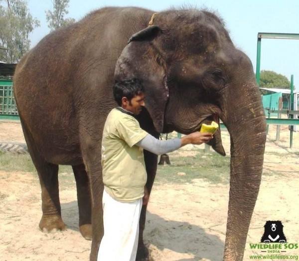 印度野生動物救援組織(Wildlife SOS)從德里的馬戲團救出一隻傷痕累累的母象蘇西(Suzy)。(圖取自「Wildlife SOS」臉書粉絲專頁)