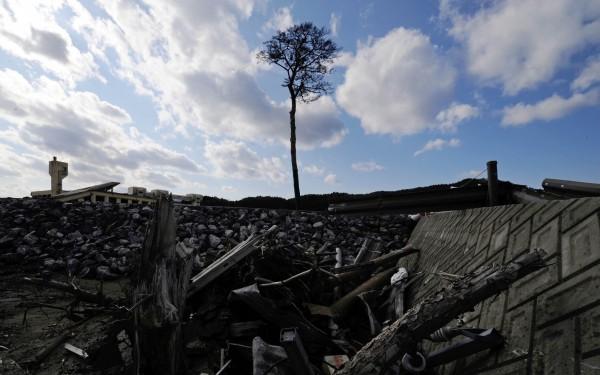 岩手縣陸前高田市中「奇蹟之松」被海嘯襲擊仍屹立不搖,不過海嘯隔年因根部腐蝕,當地政府只能忍痛將它砍下。(法新社)