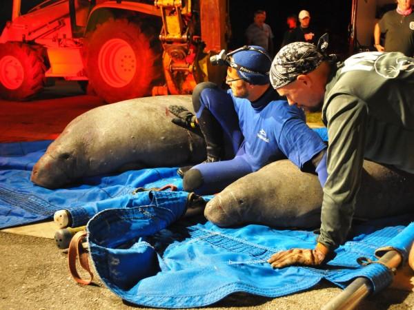 美國佛羅里達州近日天氣寒冷,有19隻海牛為了取暖鑽進了排水管,但是進得去卻出不來,好險在救難人員漏夜搶救下脫困。(圖取自FLORIDA TODAY)