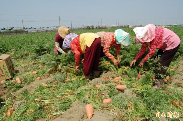 台南將軍區胡蘿蔔正值產季,胡蘿蔔田到處各見「採收大軍」忙採收拔蘿蔔裝箱。(記者楊金城攝)