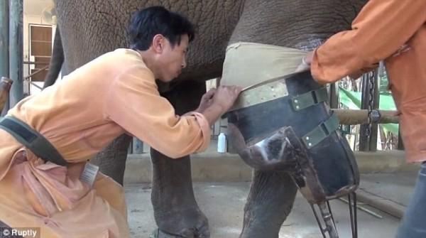 南邦府自然保護區中的大象醫院,細心照顧莫夏。(照片擷自都市報)