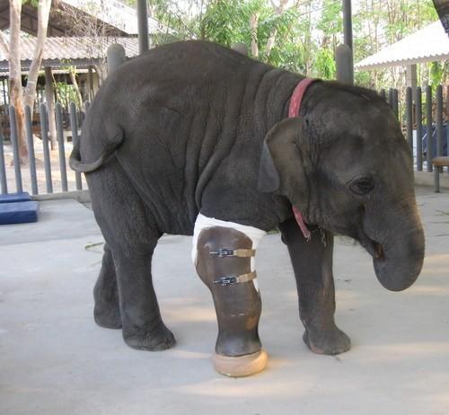 莫夏小時候因為誤踩地雷,炸傷前足,後來被送到南邦府自然保護區中的大象醫院,受到細心的照顧,成為第一隻裝義肢的大象。(照片擷自都市報)