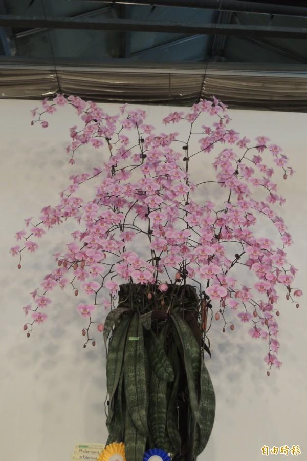 屏東陳志明培育的原種蝴蝶蘭喜蕾莉獲2015台灣國際蘭展全場總冠軍。(記者劉婉君攝)