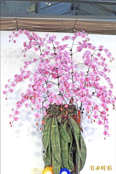 屏東陳志明栽種的原種蝴蝶蘭喜蕾莉,獲選為2015台灣國際蘭展全場總冠軍。(記者劉婉君攝)