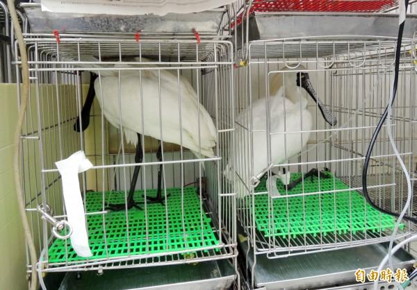 2月底3月初在台南土城私人魚塭被救回的黑面琵鷺,有一隻檢出新型H5亞型高病原性禽流感,今天早上已被撲殺。(資料照,記者洪瑞琴攝)