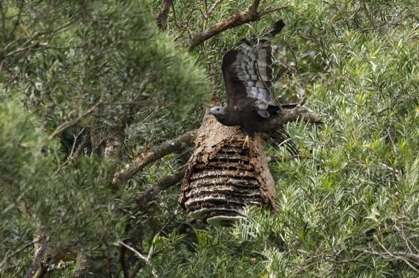 東方蜂鷹大啖虎頭蜂蜂蛹、幼蟲。(台北市立動物園提供)