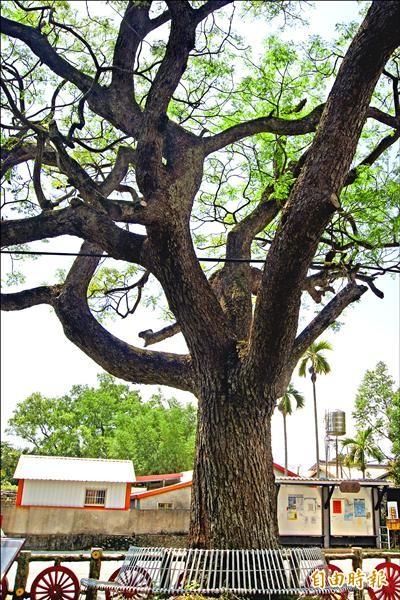龍田村的慈濟樹是縣府列管的老樹。(記者王秀亭攝)