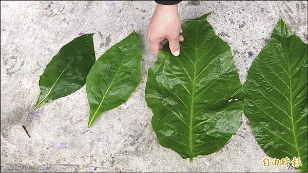 疑吃阿粨食物中毒者拿出所採的甲酸漿葉(右),比一般使用的大上二至三倍。(記者王秀亭攝)
