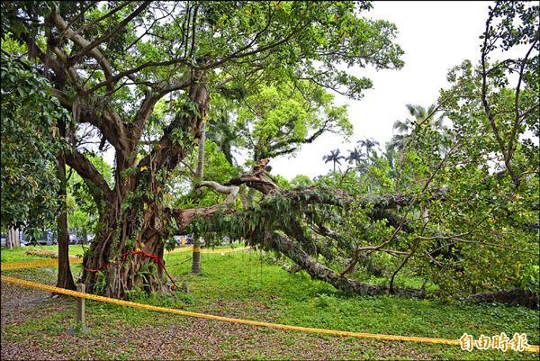 宜蘭市南門林園列管的老榕,罹患褐根病,難逃遭移除命運。(記者游明金攝)