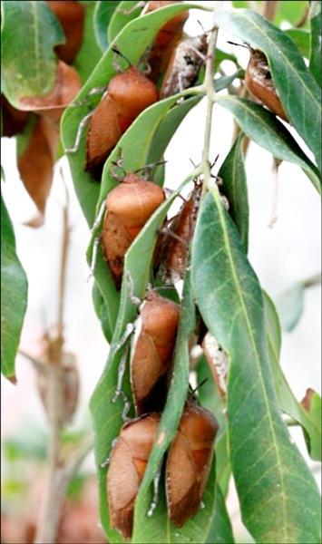 荔枝椿象會造成落果。(記者陳文嬋翻攝)