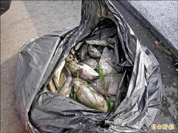 集集鎮清水溝溪發生魚群暴斃,公所派員清理魚屍,共撈出一百多隻魚體。(記者劉濱銓攝)