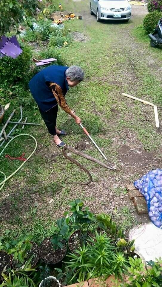 高齡80歲的阿嬤陳玉瓊伸出捕蛇夾,不費吹灰之力就制伏入侵南蛇。(記者陳賢義翻攝)