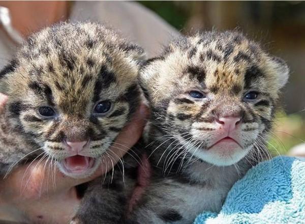 全球瀕危的雲豹本月在邁阿密動物園新增2位成員,不但是飼養員少有的樂事,更是保育瀕危物種的大勝利。(圖擷取自邁阿密前鋒報)
