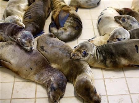 美國加州沿岸不斷出現因飢餓而被沖上岸的小海獅,專家認為與海水溫度上升有關。(路透)