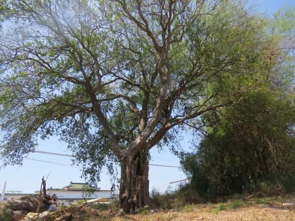 喜樹古道上的百年朴樹,為台南舊城區一帶最大的一棵。(記者蔡文居攝)
