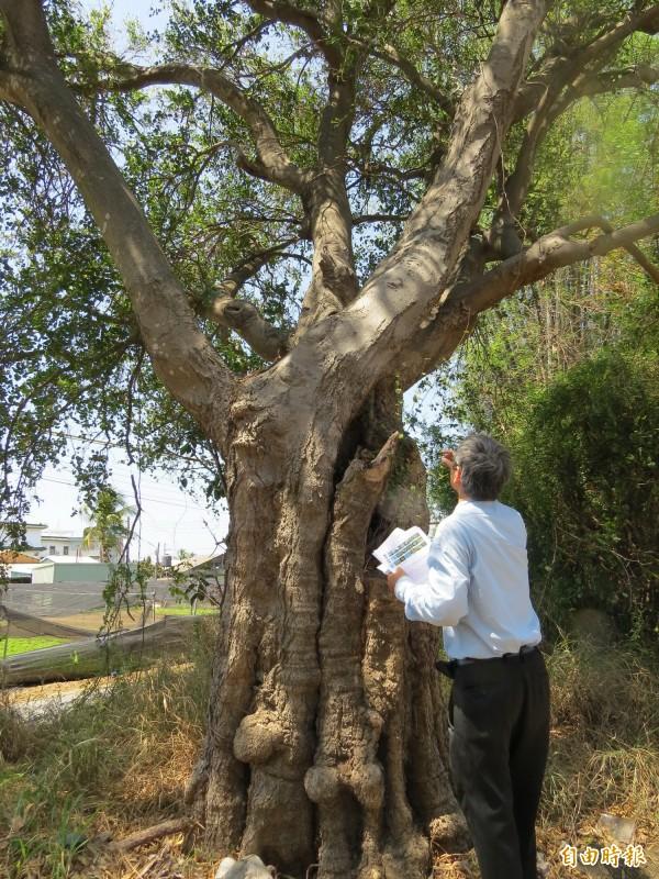 這棵百年朴樹樹幹十分粗大。(記者蔡文居攝)