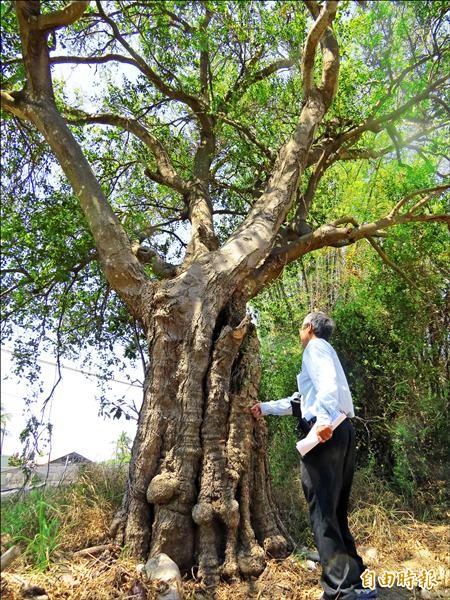 百年朴樹樹圍達3米多得2、3人才能合抱。(記者蔡文居攝)