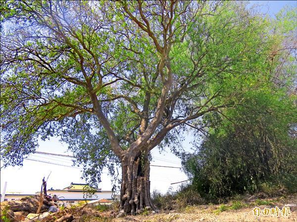 喜樹古道上的百年朴樹,估計樹齡至少150年以上。(記者蔡文居攝)