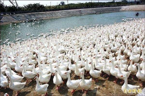 農委會哨兵雞感染禽流感,鵝農憂心水簾式禽場同樣中鏢,復養更遙遙無期。(記者林國賢攝)