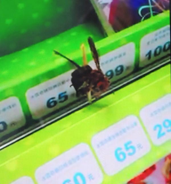 2隻疑似虎頭蜂誤入便利超商,卻遭人捉來以半截牙籤釘在貨架上,發現民眾拍下畫面痛批行為殘忍。(記者佟振國翻攝)