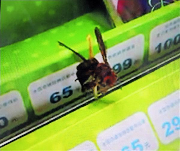 2隻疑似虎頭蜂誤入便利超商,遭人以牙籤刺穿釘在貨架上,民眾批評行為殘忍。(記者佟振國翻攝)