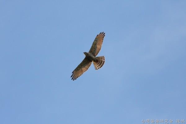 俗稱國慶鳥的灰面鵟鷹近日過境吉貝島(澎湖野鳥學會提供)
