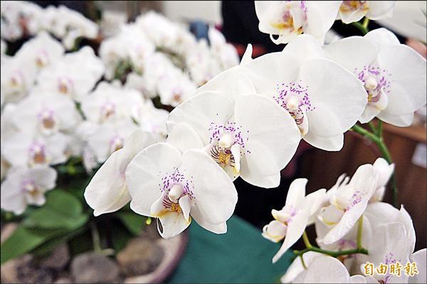 天使之戀花瓣白色帶有淡紫紅班,像戀人泛紅雙頰。(記者吳欣恬攝)