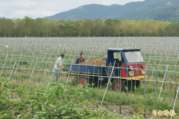 在瑞源國中旁栽種火龍果的農民,持續在農園裡施用雞糞,臭味瀰漫瑞原國中。(記者王秀亭攝)