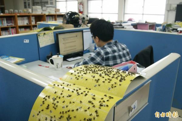 為減少蒼蠅影響老師辦公,瑞源國中在辦公桌週邊擺滿黏蠅紙,幾個小時就能黏滿一張,師生苦不堪言。(記者王秀亭攝)