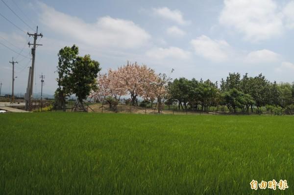 昨天的降雨,有助於嘉南平原一期稻作省下約500萬噸用水。(記者劉婉君攝)