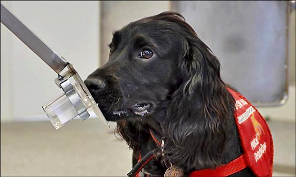 英國慈善組織「醫療偵測犬」創辦人葛斯特的研究顯示,利用犬隻檢測癌症的可靠度為93%。(取自醫療偵測犬網站)