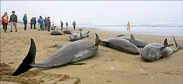 日本茨城縣海邊十日至十一日出現大批擱淺的瓜頭鯨,引發此為大地震前兆的網路流言。 (路透)