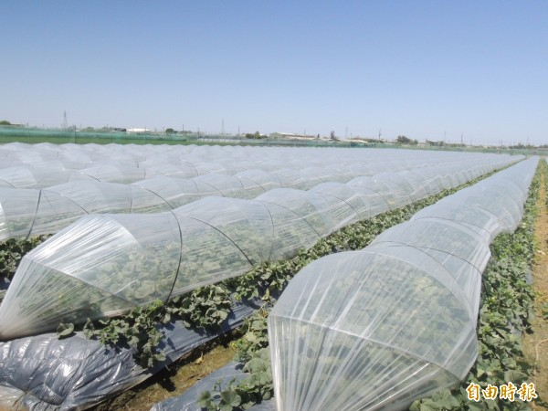雲林崙背是國內洋香瓜主要產地之一,瓜農以隧道式栽培。(記者黃淑莉攝)