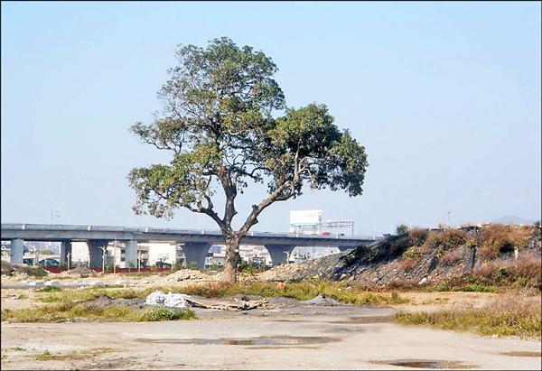 重劃後,芒果樹仍矗立在原址上。(台中市政府建設局提供)