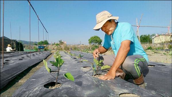 農戶則輔導改種葉菜類,或抗旱蔬果,共體時艱。(農業局提供)
