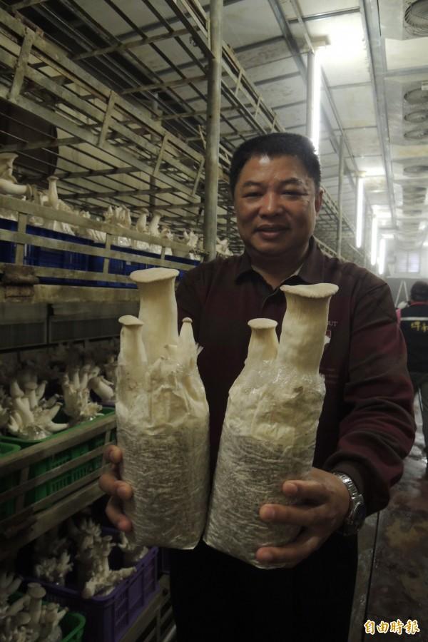 台東地區農會杏鮑菇品質佳。(記者張存薇攝)