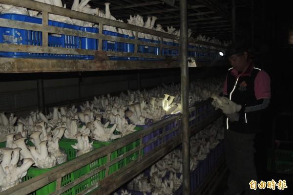 台東地區農會全天候控制菇舍溫、濕度,工作人員摸黑採收。(記者張存薇攝)