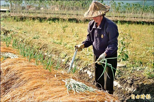 近八成五三星蔥農都有通過吉園圃認證,聽說吉園圃不用退場,農民都拍手叫好。(記者朱則瑋攝)