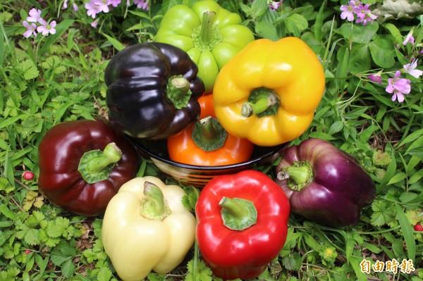 新竹縣關西鎮農民彭金勇種的8種彩色甜椒,顏色鮮豔 ,光看就讓人心動。(記者黃美珠攝)