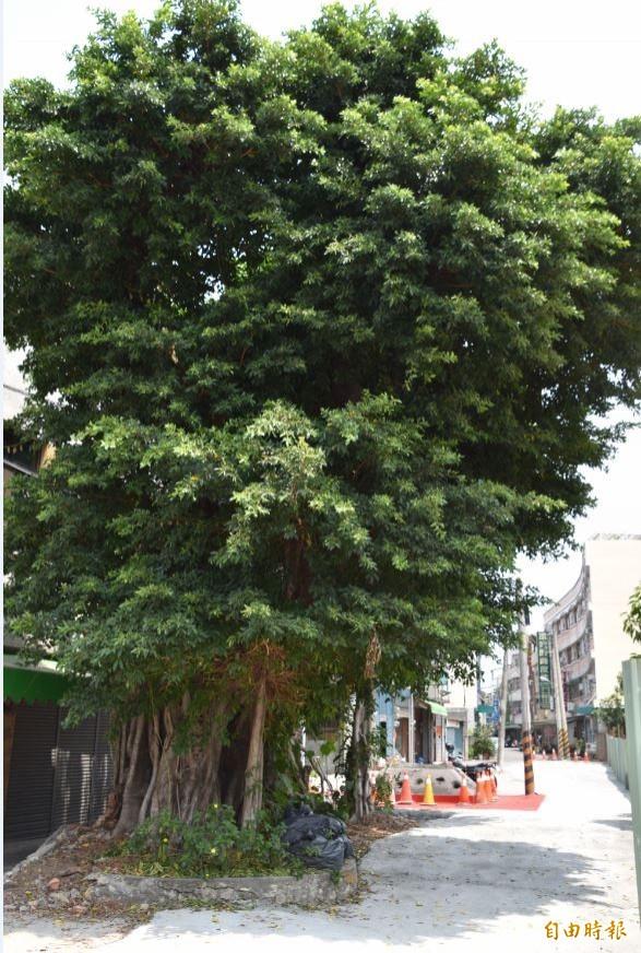 阿蓮區中山路39巷路口拓寬,百年老榕樹面臨斷根移植命運,地主不捨但無奈。(記者蘇福男攝)