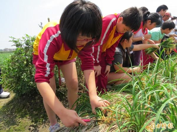 大湖國小學生體驗韭菜採收。(記者王揚宇攝)
