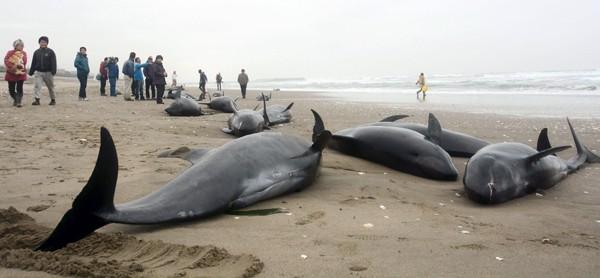 海豚集體擱淺。(路透資料照)