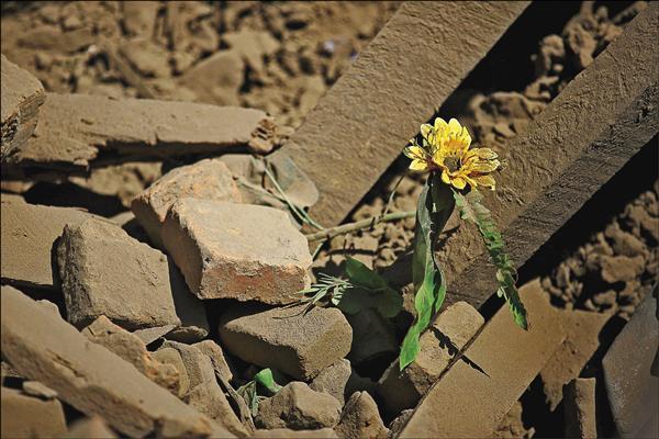 尼泊爾巴克塔普爾被震垮的房屋瓦礫堆中,依舊挺立的一朵花。(路透)