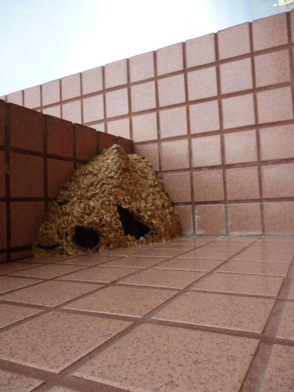 嘉市出現一處籃球般大的虎頭蜂窩,引起住戶一陣恐慌,幸好消防人員測試發現是空的,解除虎頭蜂危機。(記者王善嬿翻攝)