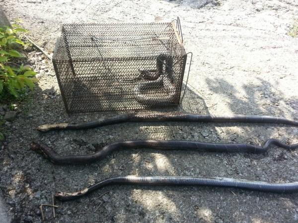 泰安鄉出現大量眼鏡蛇,嚇壞居民。(圖由農業處提供)